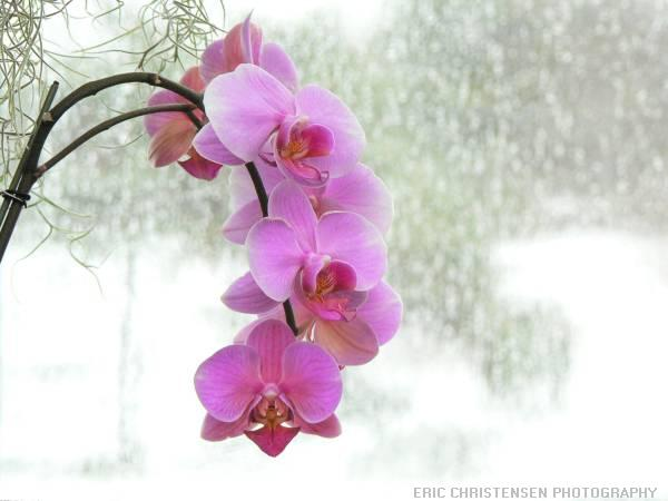 http://bioweb.uwlax.edu/bio203/2011/peterson_alic/Pink_orchid[1].jpg